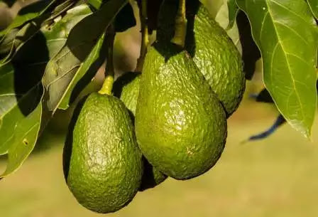 Responsive image, Avocado to improve eyesight