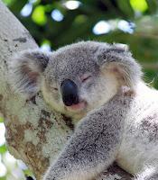 Bir ağaç dalı üzerinde uyuyan bir koala