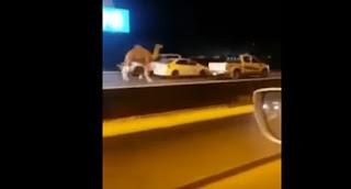 شاهد مطاردة مواطنين لجمل هارب على الطريق