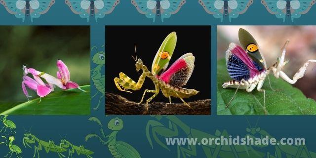 Walking Flower Mantis   praying mantis-cruel beautiful killers