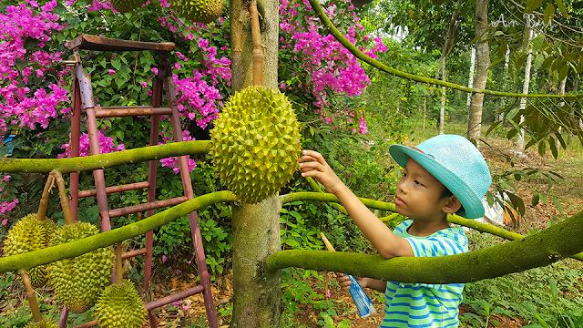 Sầu Riêng Đồng Nai - trang trại Làng Trường Thọ