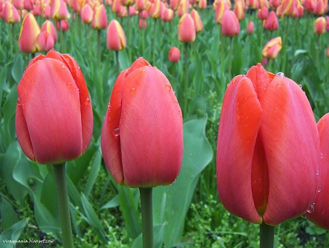 tulipán háttérkép