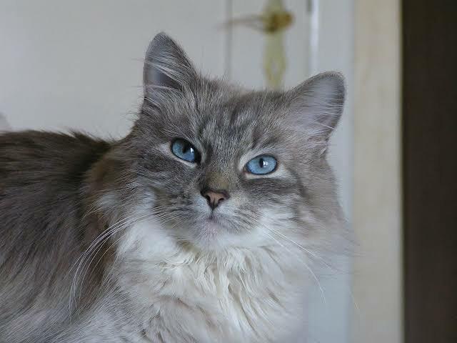kucing abu abu mata biru