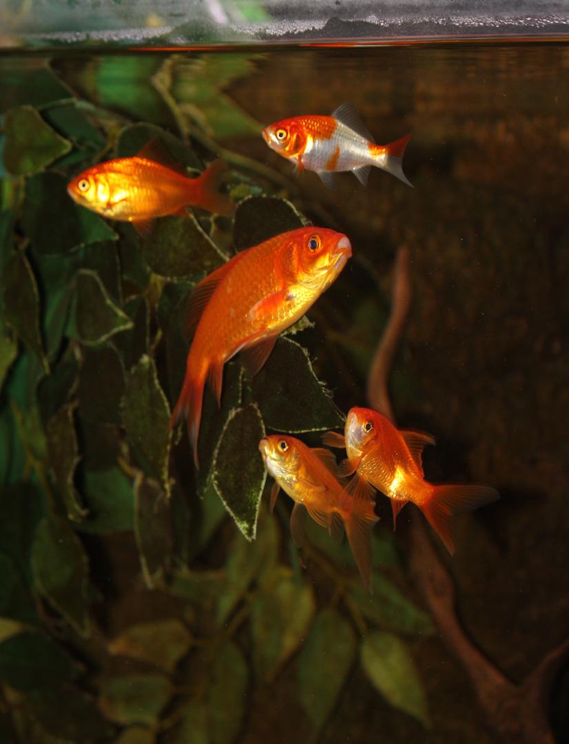 Des poissons une passion pr sentation du poisson rouge - Poisson rouge rigolo ...