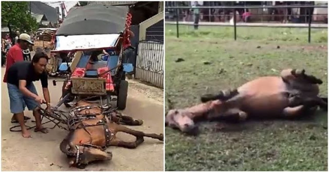 Masih Ingat Dengan Kuda Asal Depok yang Terkapar dan Dicambuki Pemiliknya, Begini Nasibnya Sekarang