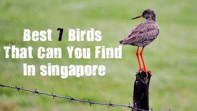 of the Most Common Birds You Can Find in Singapore 7 of the Most Common Birds You Can Find in Singapore