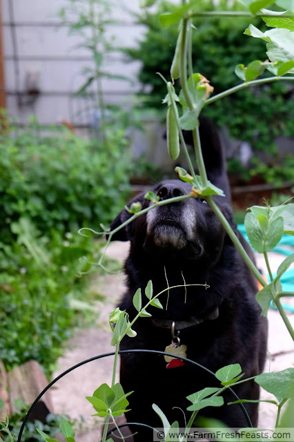 picture of Simon sniffing pea pods in the garden.