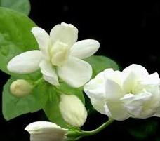 Nama sebutan untuk bunga melati di Indonesia
