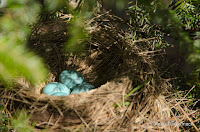 American robin nest with eggs, PEI, Canada, by Kathy McCormack