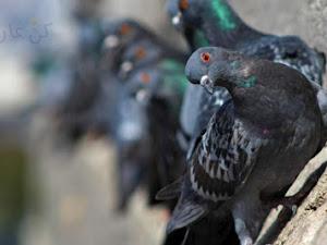 كيفية تنظيف طيور الحمام و اهميته لتفادي مرضها بطرق إحترافية !