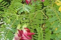 8 Manfaat daun turi (Sesbania Grandiflora)