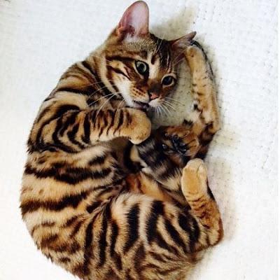 Mini Tiger Toyger Cat Breed