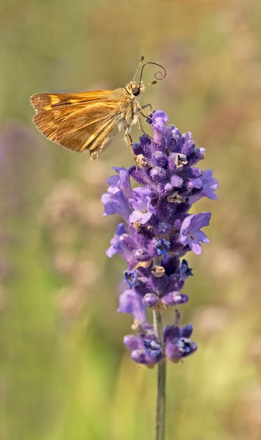 A single tall stalk of lavender with a butterfly perched near the top. The butterfly has lovely, draped deep gold wings that look like a designer gown.