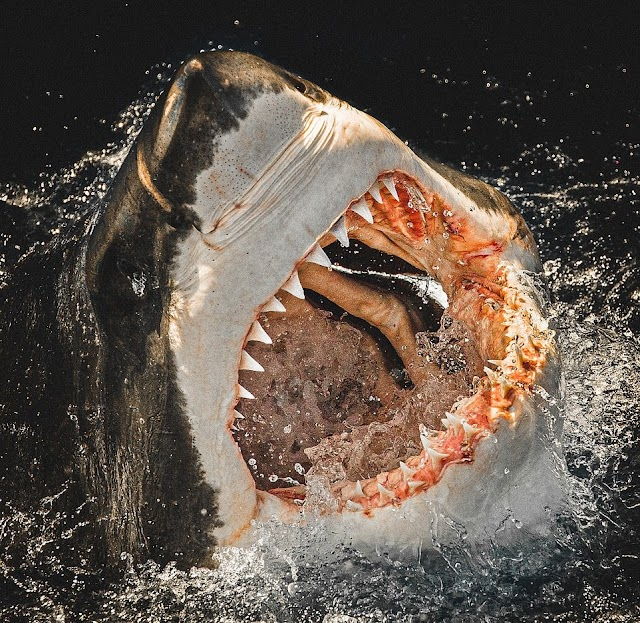 The man goes everywhere to see the teeth of the most dangerous guy in the ocean