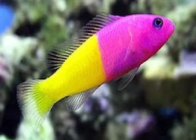 Ikan Dottyback