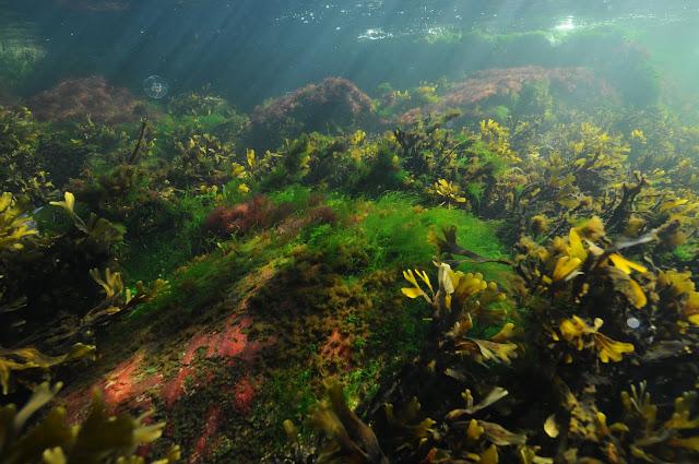 Itämeren vedenalaista luontoa, jossa esiintyy eri levälajeja rinnakkain