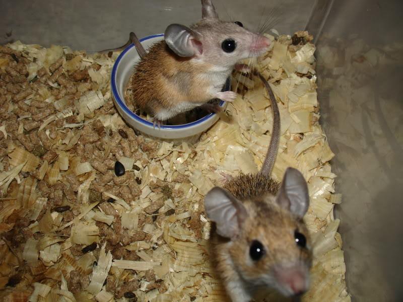 Suburban Hoofbeats: Spiny Mice