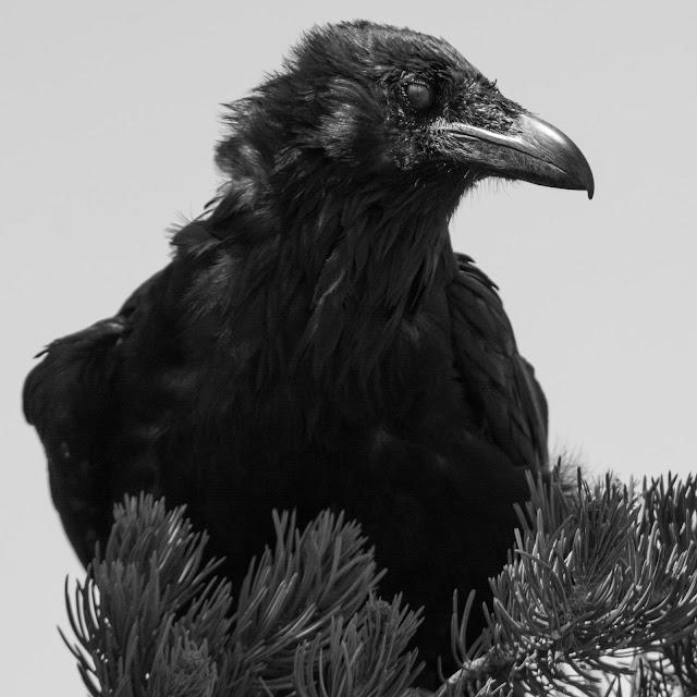 Raven, Grand Canyon