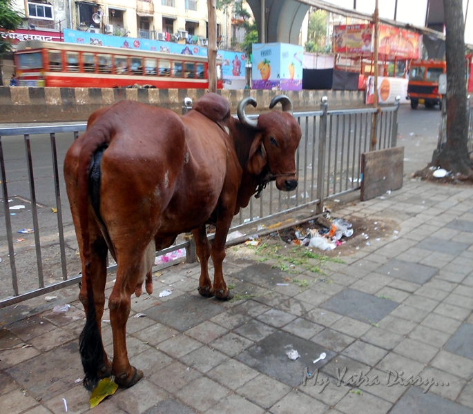 A cow looks on, Way to Lalbaugcha raja, Ganesh Pandal Hopping, Mumbai
