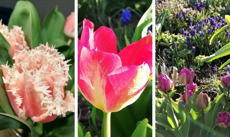 Seltene Tulpen - Frühling - Blumenzwiebeln