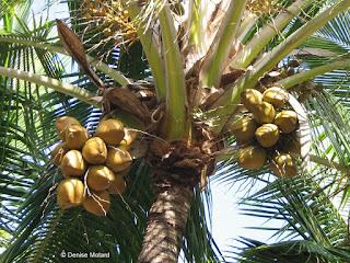 Unripe coconuts in tree, Hawaii