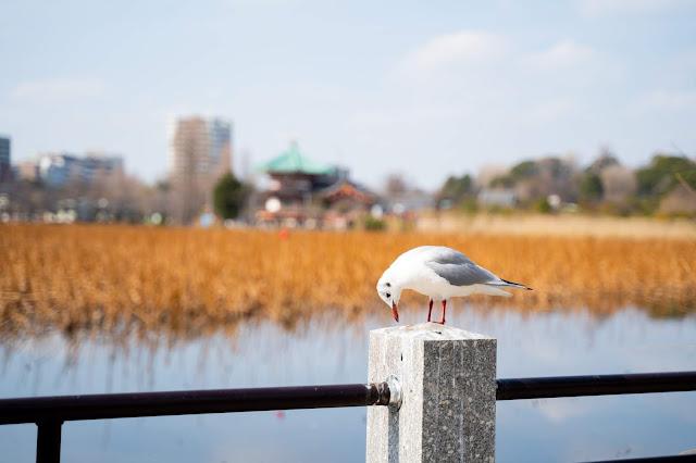 鳥,上野公園,不忍池
