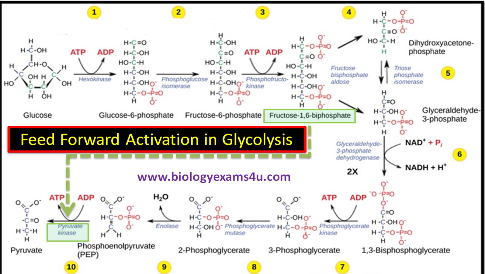feed forward activation of enzymes in glycolysis