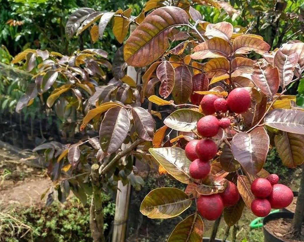 Bibit tanaman klengkeng merah super cepat berbuah Aceh