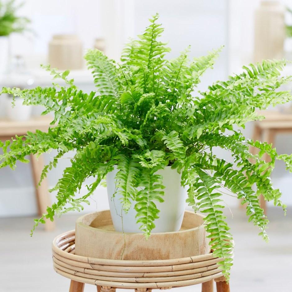 Cây dương xỉ cảnh có thể loại bỏ formaldehyde. Một số nghiên cứu cũng cho thấy nó có thể loại bỏ kim loại độc hại như thủy ngân và asen
