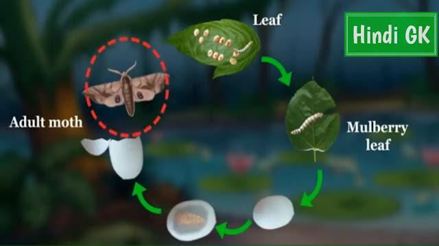 रेशम कीट का जीवन चक्र का चित्र