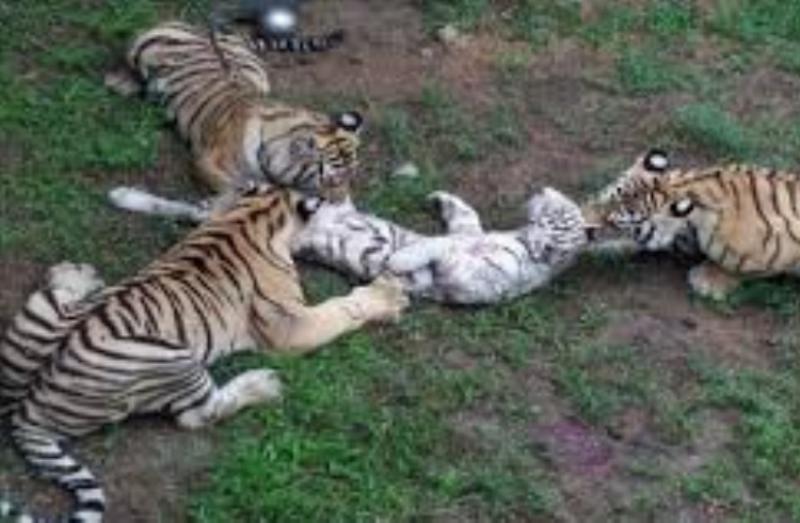 Tragis! Seorang Petani Tewas Mengenaskan di Ladang Diserang Harimau