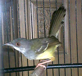 burung perenjak jantan www.burung45.blogspot.com