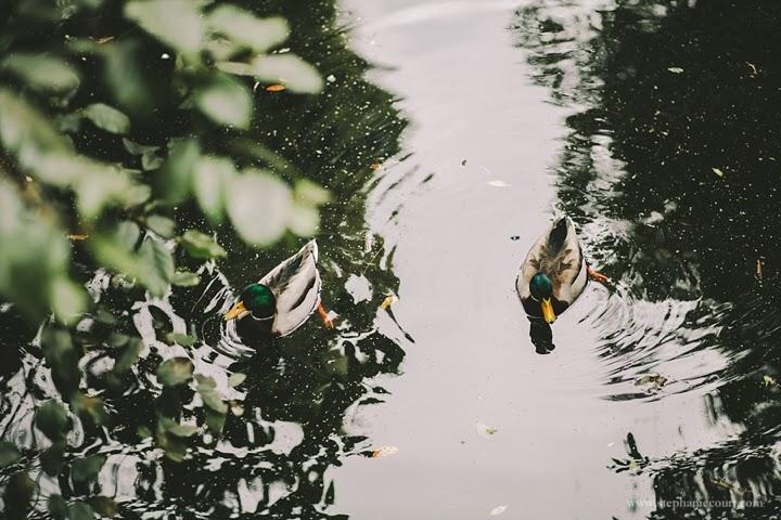 ducks-golden-gate-park