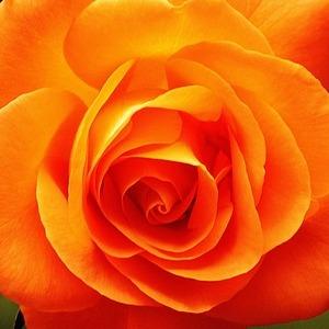 Mawar jingga memiliki arti perayaan dan semangat