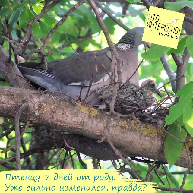 снимаем гнездо витютеня