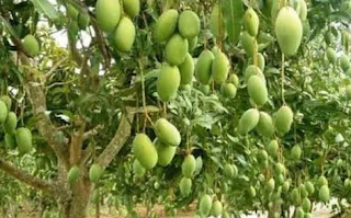 Ciri umum tanaman mangga