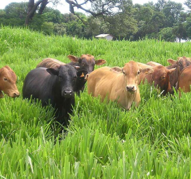 O gado é indiciado como mais um culpado do aquecimento global!!! Metas do acordo de Paris são absurdas