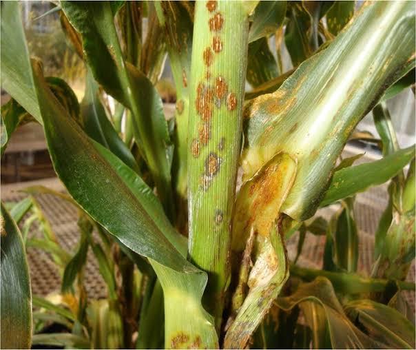મકાઈની ખેતીમાં નુકસાનકારક રોગો અને તેમનું નિયંત્રણ