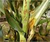 મકાઈની ખેતીમાં આવતા રોગો અને તેનું નિયંત્રણ