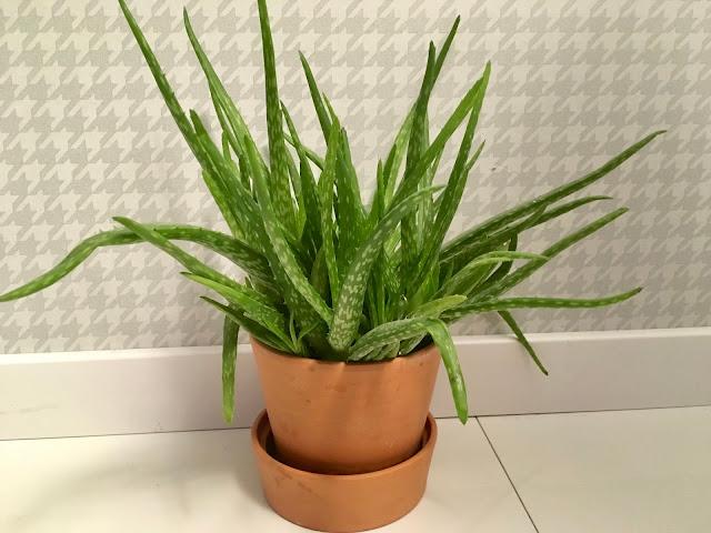 Aloe vera - aloes