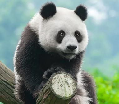 ماذا تأكل الباندا العملاقة؟