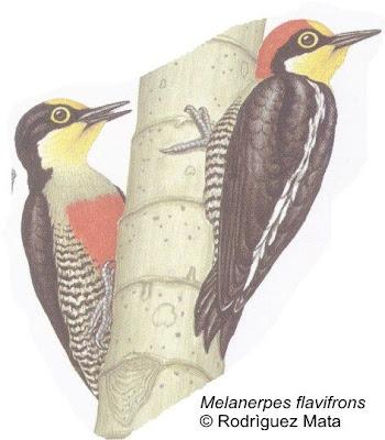 Carpintero arcoiris Melanerpes flavifrons