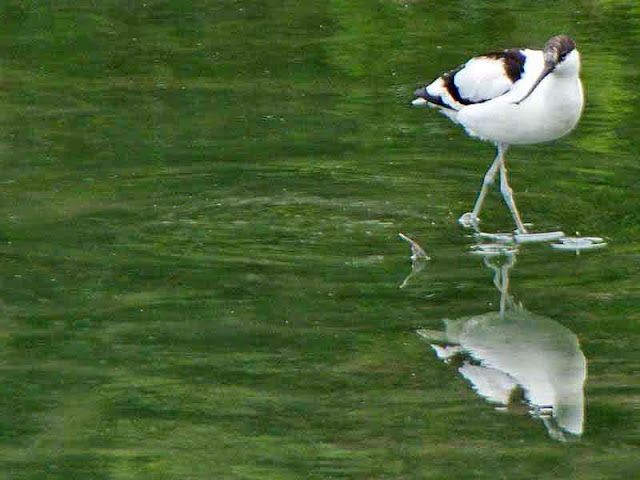Avocet, bird, black and white, curved bill, wetlands, water