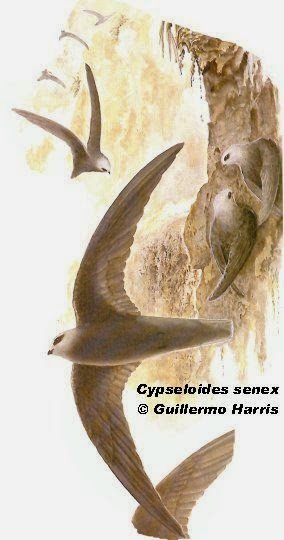argentinian swift birds