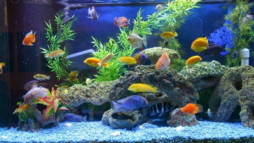 Ikan Hias Air Tawar yang Mudah Berkembang Biak
