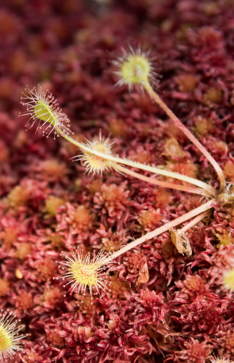 Round-Leaved Sundew on the North Coast Trail