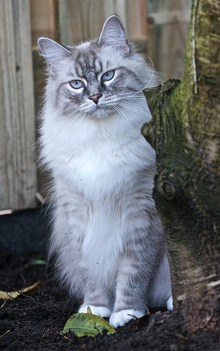 Gato noruego gris y blanco de ojos azules.