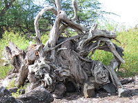 Very large tree stump - Kaloko Konokohau National Historical Park, Big Island, HI