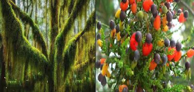 Pohon Tertua Sejak Zaman Es , 7 Pohon Unik dan Langka di Dunia