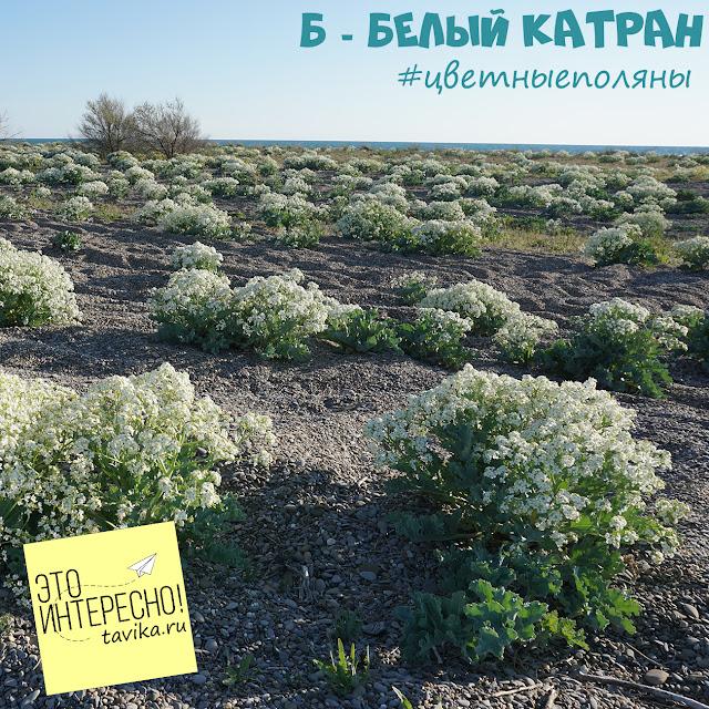 цветы колючки катран, Крым, Новофедоровка